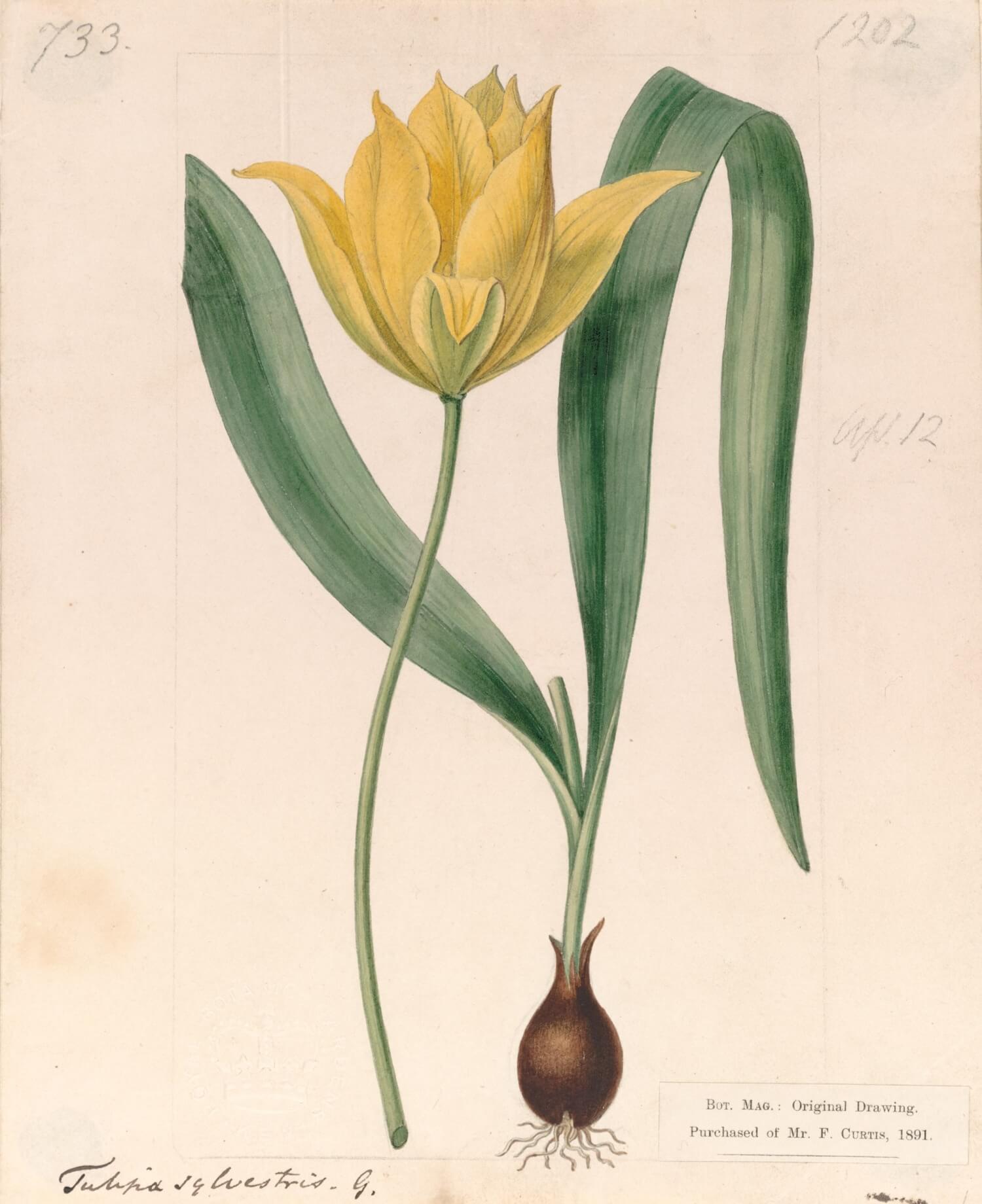 シデナム・ティースト・エドワーズ チューリッパ・シルベストリスの栽培品種